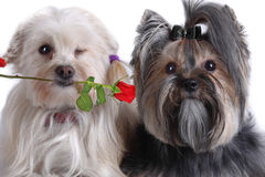 Yorkshire and Maltese dog Puppy Royalty Free Stock Photos