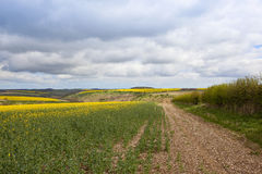 Yorkshire oilseed rape crops Stock Image