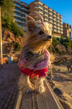 Yorkshire Pet. My dog on the parapet on the beach of Salou, province of Tarragona (Spain royalty free stock photos