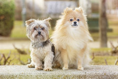 Yorkshire and pomeranian. In the park Royalty Free Stock Photos