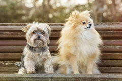 Yorkshire and pomeranian. In the park Royalty Free Stock Image