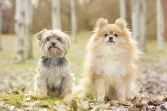 Yorkshire and pomeranian. In the park Royalty Free Stock Images