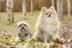 Yorkshire and pomeranian. In the park Stock Photography