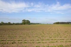 Yorkshire potato field Stock Photography