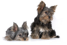 Yorkshire puppies Stock Photo