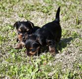 Yorkshire puppies 3 Royalty Free Stock Photos