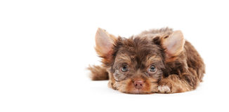 Yorkshire puppies Royalty Free Stock Photo