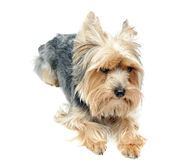 Yorkshire puppy Royalty Free Stock Photography
