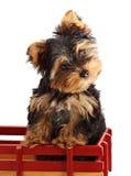Yorkshire puppy Royalty Free Stock Photo