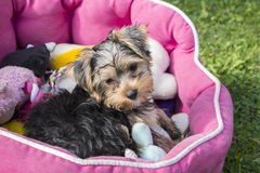 Yorkshire Puppy royalty free stock image