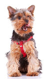 Yorkshire puppy dog licking its nose Royalty Free Stock Images