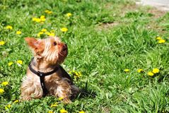 Yorkshire puppy feels the spring. Little brown dog sitting on meadow with blossom dandelion. Yorkshire feels the spring Stock Photo