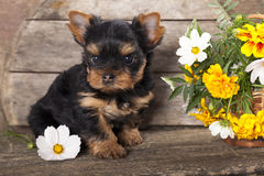 Yorkshire  puppy and flower Stock Image