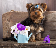 Yorkshire  puppy and flower Stock Photography