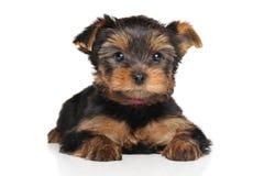 Yorkshire puppy lying Stock Image