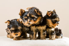 Yorkshire puppy pack Royalty Free Stock Image