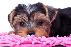 Yorkshire puppy, resting on pink blanket Royalty Free Stock Images