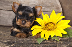 Yorkshire  puppy and sunflower Royalty Free Stock Images