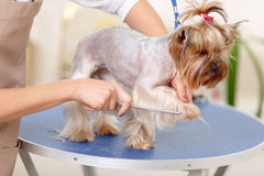 Yorkshire purebred dog is being groomed Stock Images