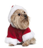 Yorkshire in Santa Claus suit, sitting Royalty Free Stock Images