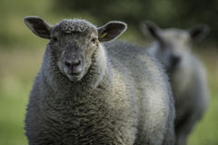 Yorkshire Sheep with ears pricked Stock Photos