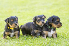 Yorkshire silky terriers. On grass Stock Photography