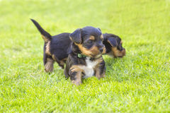 Yorkshire silky terriers Stock Photos