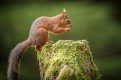 Yorkshire squirrel