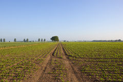 Yorkshire sugar beet field. A springtime sugar beet field with tyre tracks trees and hedgerows under a clear blue sky in yorkshire Royalty Free Stock Photography