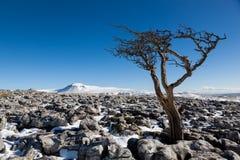 Knarled Weißdornbaum, der herüber zu Ingleborough schaut Stockfoto
