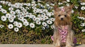 Yorkshire Terier Dog. In the garden Royalty Free Stock Photos