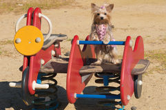 Yorkshire Terier Dog. Yorkshire Terier at the kids cradle Stock Photography