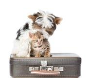 Yorkshire terier i Bengal kota obsiadanie na retro torbie odosobniony Zdjęcia Royalty Free