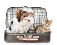 Yorkshire terier i Bengal kota obsiadanie w torbie Obrazy Stock