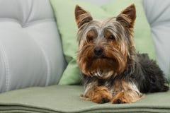 Terrier Zdjęcie Stock