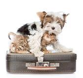 Yorkshire terier obejmuje Bengal kota na walizce Iso Obrazy Royalty Free