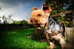 Yorkshire Terrier Zdjęcie Stock