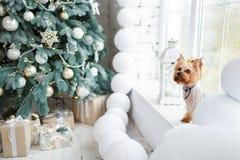 Yorkshire teriera nowy rok z boże narodzenie dekoracją jako tło w domu Fotografia Royalty Free