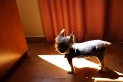 Yorkshire teriera perro pies Zdjęcie Royalty Free