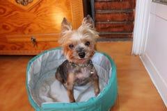 Yorkshire teriera perro pies Zdjęcia Stock