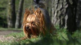 Yorkshire teriera pies kłama śmiesznego zdjęcie wideo