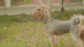 Yorkshire teriera trawy pies Obwąchuje na ziemi patrzeje dla psiego instynktowego zwolnionego tempa wideo, przeciw brązowi zbiory wideo