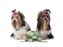 Yorkshire teriery dają prezentowi Zdjęcie Royalty Free