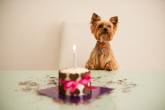 Yorkshire terirer  looking at birthday cake in front Royalty Free Stock Image