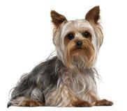 Yorkshire-Terrier, 1 Einjahres, liegend Lizenzfreie Stockfotos