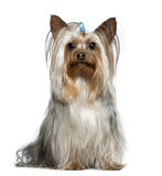 Yorkshire terrier, 1 and a half years old, sitting Stock Images