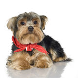 Yorkshire Terrier (1 year) Royalty Free Stock Photography
