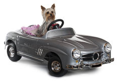 Yorkshire Terrier, 1 year old, driving. Convertible in front of white background Stock Image