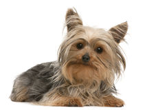 Yorkshire Terrier, 1 year old, lying Royalty Free Stock Images
