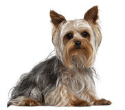 Yorkshire Terrier, 1 year old, lying Royalty Free Stock Photos